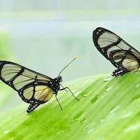 Tropical glasswing butterfly among green banana leaves..