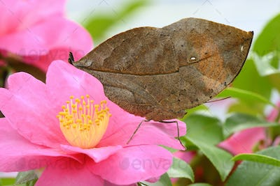 Dead leaf Tropical colorful butterfly among pink and yellow camellia flowers.