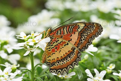 Tropical colorful butterfly among white flowers.