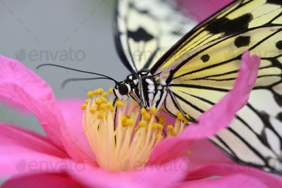 Tropical colorful butterfly among pink and yellow camellia flowers.