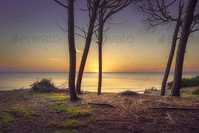 Pine trees, beach and sea. Marina di Cecina, Maremma Tuscany, Italy