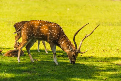 Young male sika deer isolated on field grazing grass
