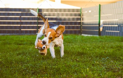 A picture of a fast Beagle hound running on grass fetching a dog toy.