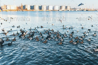 Wild ducks and gulls flying and swimming in sea blue water in wi