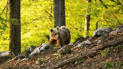 Brown bear walking in forest in sprintime nature
