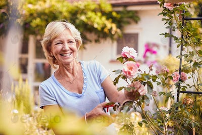 Retired Woman At Work Pruning Roses On Trellis Arch In Garden At Home
