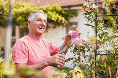 Retired Man At Work Pruning Roses On Trellis Arch In Garden At Home