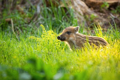 Cute wild boar standing on meadow in springtime at sunset with copy space