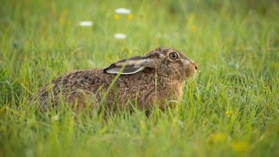 Afraid brown hare hiding on green meadow with ears pulled down