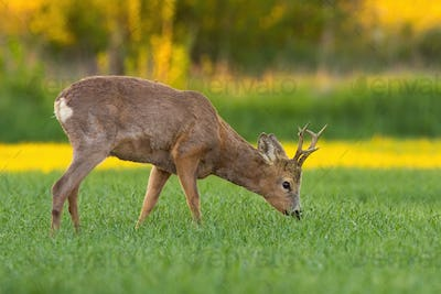 Roe deer buck with antlers grazing on hay field in spring nature at sunset