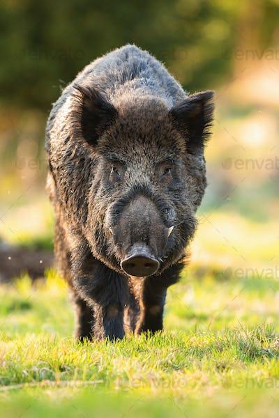 Wild boar male approaching on grass in springtime