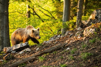 Brown bear moving through forest in sunny springtime nature