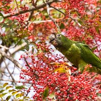 Feral Parrot (Red Crowned Parrot)