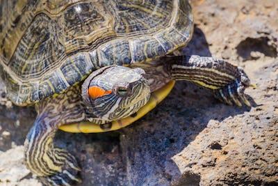 Close up of Red-eared Slider (Trachemys scripta elegans) turtle sunbathing, California