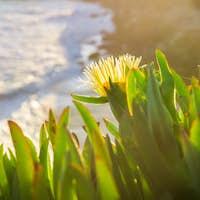 Yellow Iceplant (Carpobrotus edulis) flower on the Pacific coastline, California
