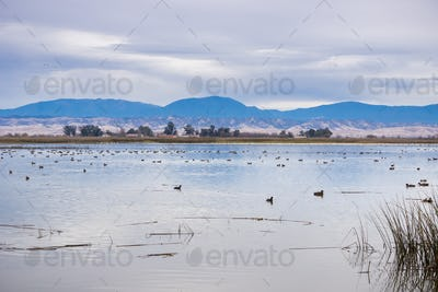 Waterfowl on the restored marshes of Sacramento National Wildlife Refuge, California