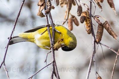 Male Lesser Goldfinch