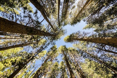 Looking up in a pine forest, Eastern Sierra mountains, California