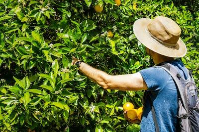 Unidentified person picking oranges, San Jose, South San Francisco bay area, California