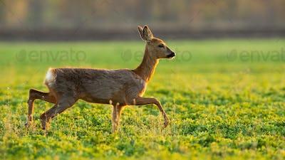 Roe deer running on grassland in spring sunlight