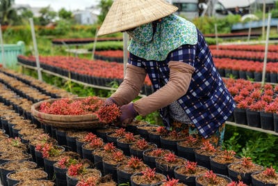 Closeup vietnamese farmer working with red flowers garden in sadec, dong thap province