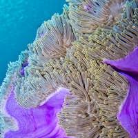 Magnificent Sea Anemone, Coral Reef, South Ari Atoll, Maldives