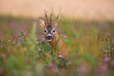 Hidden roe deer buck looking from blooming clover field in summer nature