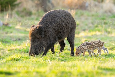 Family of wild boar grazing on glade in spring nature