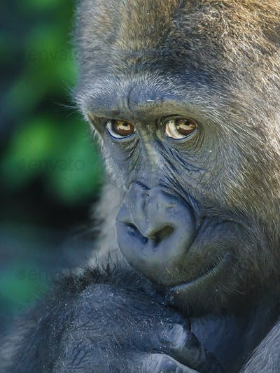 Close up portrait of a young female Western Lowland Gorilla