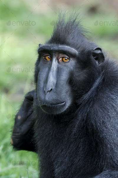 Crested black macaque (Macaca Nigra) in nature