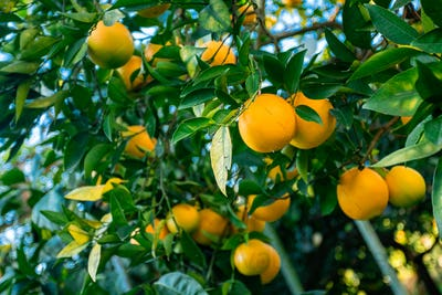 Oranges branch with green leaves on tree