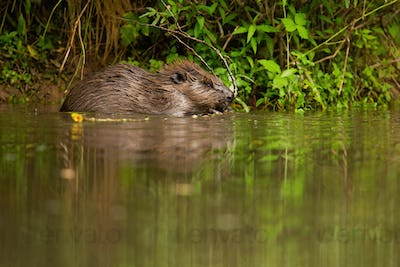 Eurasian beaver feeding with twig in water on riverbank