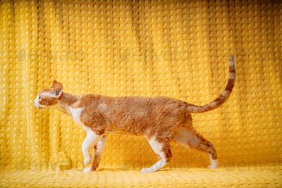 Funny Red Ginger Devon Rex Cat Posing On Plaid. Short-haired Cat Of English Breed On Yellow Plaid