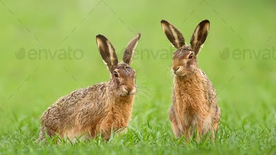 Two brown hares sitting in green grass on a meadow in springtime