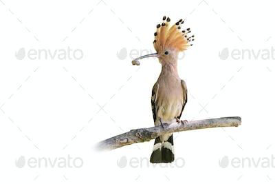 Eurasian hoopoe holding worm in beak isolated on white background