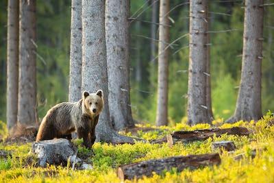 Sad brown bear looking at the stump and cut down tree