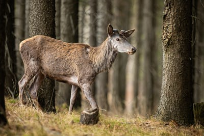 Red deer without shed antlers walking in forest in spring nature