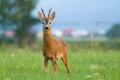 Roe deer standing on glade near civilization in summer