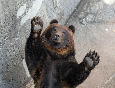 Brown bear raising up hand