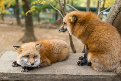Cute red fox play together