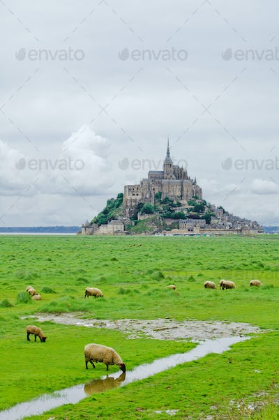 Sheeps near Mont Saint Michel. Normandy, France.