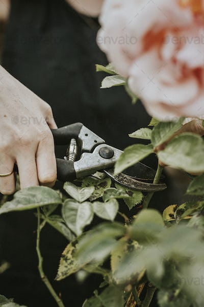 Woman cutting a pink rose from the bush