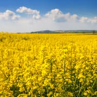 Yellow agriculture rapeseed field landscape canola or colza