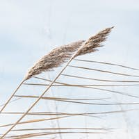 Golden reeds on the lake sway in the wind against the blue sky.