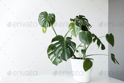 monstera flower in a white pot stands on a table