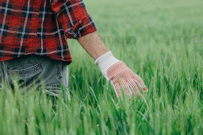 Agronomist walking through green wheat field and examining plantation