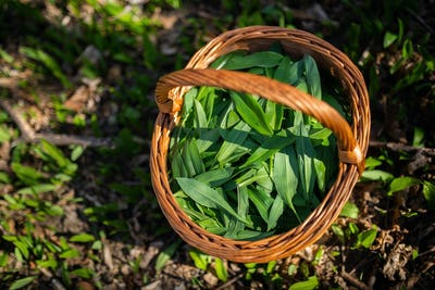 Wooden basket full of bear garlic leaves plucked in spring forest at sunrise