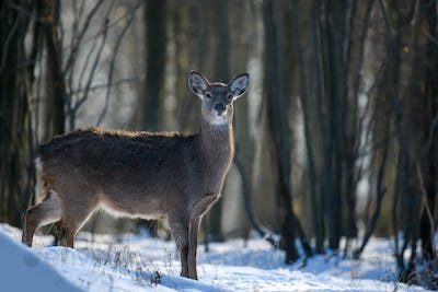 Close young majestic red deer in winter forest. Cute wild mammal in natural environment