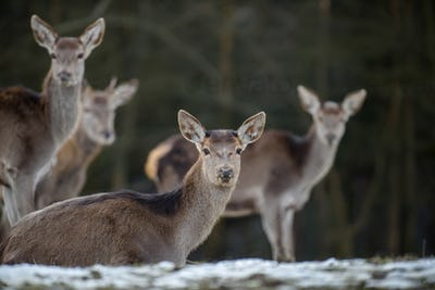 Majestic deer stag in forest. Animal in nature habitat