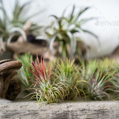 air plant Tillandsia on wooden surface. Trendy indoor garden ideas. Houseplant with aerial roots